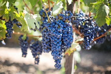 Investir dans le vin raisin