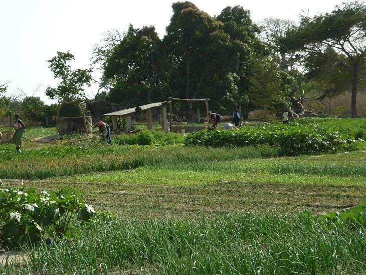 jardin houdiabousse en pleine culture